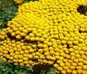 YARROW GOLD Achillea Filipendulina - 3,000 Bulk Seeds
