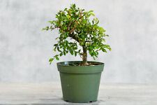 Chinese Elm for Shohin Pre-Bonsai Tree! Thick Trunk, Cold Hardy, Small leaves
