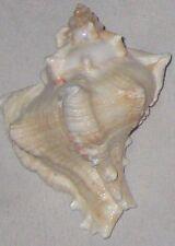 "Sea Shell 3"" w Red Stripe Beautiful Natural"