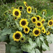 Sutton's Primrose heirloom SUNFLOWER  40+SEEDS Organic NON-GMO  containers