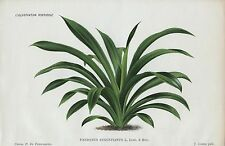 1886 PANDANUS AUGUSTIANUS Antique Botanical Chromolithograph Print LINDEN