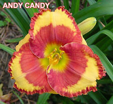 """DAYLILY  X 1 PLANT/DIVISION - H.  """"ANDY CANDY""""  - ORANGE/RED EYE"""