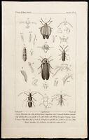 1844 - Gravur Zoologie: Käfer (Dictyoptera, Omalisus, Drilus