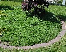 12+ Cuttings Sedum spurium Perennial groundcover stonecrop Pink flower