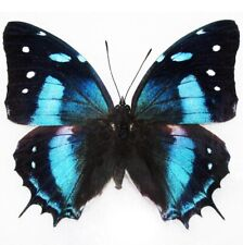 One Real Butterfly Blue Peruvian Baeotus Papered Unmounted Wings Closed