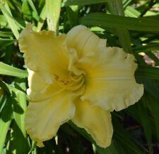 PLANTS-DAYLILY- H.'Cowra Debutante '