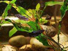 Live Betta fish male female Blue Red