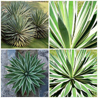 50 Samen der Dasylirion texanum Sukkulenten,seed succulents G saftig