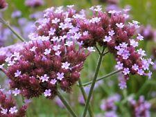 Verbena bonariensis | Purpletop Tall Vervain | Clustertop | 200_Seeds