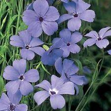 """# la Heil-œillet /""""viscaria vulgaris/"""" favorise la croissance d/'autres plantes!"""