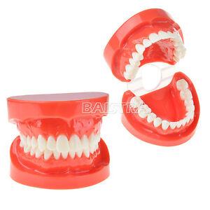Dental Study Teaching Tooth Upper& Lower Jaw Standard Teeth Model 7004 Red