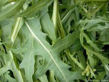 500 Samen wilde Rauke Rucola Rukola Diplotaxis tenuifolia Gemüse 001419