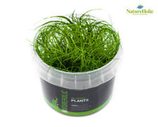 Nadelsimse / Eleocharis acicularis - NatureHolic In-Vitro Aquarium Pflanze