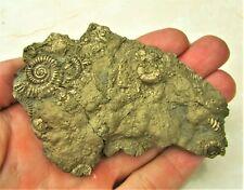Stunning huge 97mm full golden multi-ammonite bivalve fossil Jurassic pyrite UK