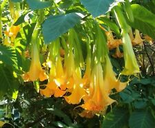 Brugmansia Pumpkin Yellow 5 Seeds, Angel Trumpet Cultivar Tree or Small Shrub