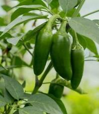 25 Fresh Hand Selected Early Jalapeno Premium Pepper Seeds-A 19