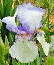 'Theodolinda' 1931 Light Purple and White Tall Bearded Iris 1 plant