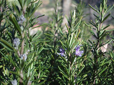 ROSEMARY 20 seeds Herb culinary flower repels moths open polinated NON GMO