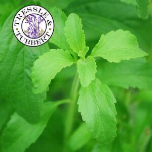 Stevia rebaudiana herb rare natural sweetner approx 40 seeds UK SELLER