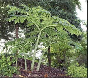 Amorphophallus paeoniifolius