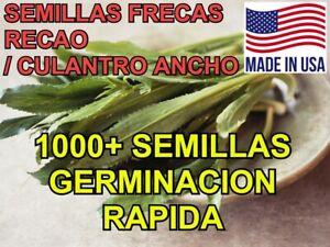 1000+ Semillas de Recao, Culantro Ancho, Alcapate   Alta Calidad   Natural