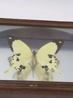 REAL BUTTERFLY BLACK/WHITE PAPILIO DARDANUS AFRICA Framed Taxidermy Odd Fun Gift
