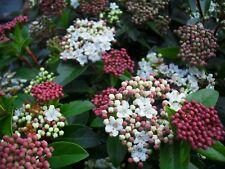 5 pz Pianta di Viburno Tinus Viburno Tino Pianta da Siepe viburnum tinus Vaso 7