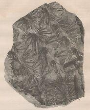 C1304 Empreinte de piante fossile - Xilografia d'epoca - 1867 Vintage engraving