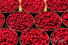 Organic Heirloom Tart Red Cherry Tree Early Richmond Type 20 seeds