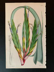 Curtis's Botanical Magazine; Print #4415, Vriesia glaucophylla, 1848