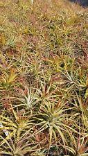 Bromeliad Tillandsia concolor Exotic Tropical Air Plant