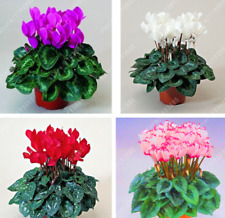 20 Pcs/bag Cyclamen Flower Beautiful Mix Flower Seeds for Home Garden Plant