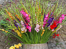 More details for 10x gladioli mixed bulbs large summer flowering gladiolus garden perennial plant