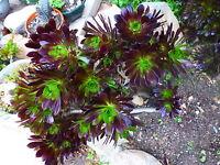 plante artichaut ,a planter lot de 2beauxbouquets avec beaucoup de   rosaces