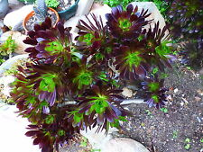 plante artichaut ,a planter lot de 2beauxbouquets avec nombreuses  de   rosaces