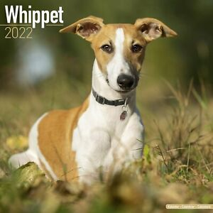 Whippet Dog - 2022 Square Wall Calendar
