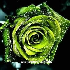 EXOTIC GOLDEN GREEN ROSE SEEDS X 20,FRESH STOCK,FREE POST,AUSSIE SELLER