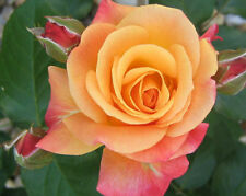 Live Orange Rose Grafted Plant  in Pot