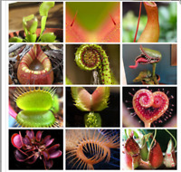 Multifarious Nepenthes Carnivorous Plant 100 seeds Dionaea Muscipula Giant Clip
