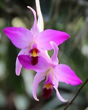 Laelia anceps var. guerrero IN SPIKE Species Orchid Plant