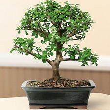 Bonsai Tree Baby Jade Bonsai Tree Plant 12 years old Free Shipping Best Gift