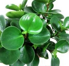 PEPEROMIA SCANDENS ROUND tropical indoor house plant in 130mm pot