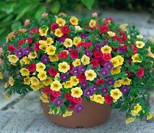 500  SEEDS GARDEN PETUNIA WITH YELLOW FLOWER BONSAI *UK SELER*