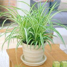 1 x Chlorophytum Variegatum   Evergreen Indoor 20-30cm Potted Spider Plant