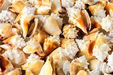 "Fighting Conch Sea Shell Beach Home Decor Crafts Wedding 3"" (100 PCS)"