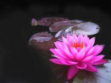 Mayla Water Lily Bright Fuchsia Blooms plants koi pond garden J&J Aquafarms