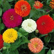Flower Seeds Zinnia Choice Mixed Mix Cut Cutting Bedding Pictorial Packet Uk