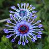 50* Rare Blue Daisy Plants Flower Seeds Exotic Ornamental Garden Flowers Pl T3R0