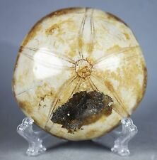 Natural Starfish Fossil Crystal Specimen Polished Collectible From Madagascar