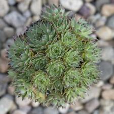 25 Seeds Calcareum Succulent Cactus Plant Garden Cacti